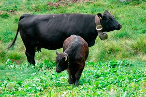 Pecus – Kühe